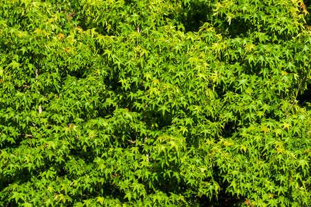 Green maple leaves as background 版權商用圖片