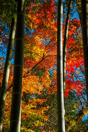 Autumn and foliage in Japan. Red and yellow maple leaves seen through bamboos