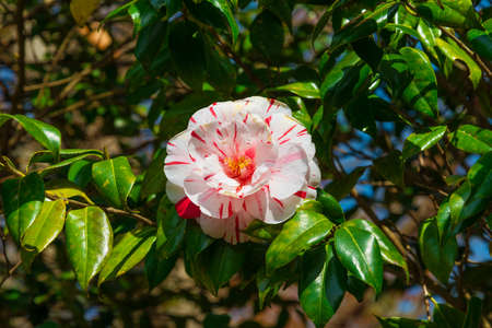 White and red Camellia flower amog green leaves Foto de archivo