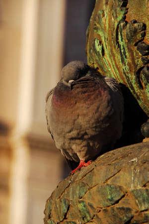 Cute sleeping pigeon in Venice
