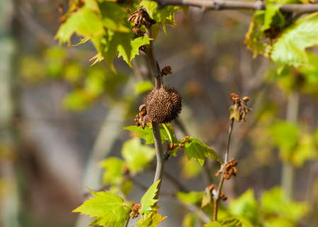 Platanus, sycamore or planetree dry fruit with achenes