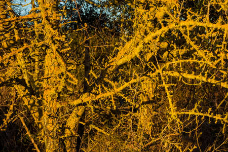 Winter bare branches with yellow lichens as background