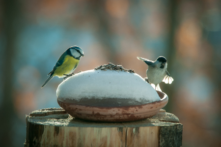 titmouse whit sparrov on the branch in the snow and sparrow 版權商用圖片
