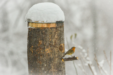 robin in the middle of a beautiful snowfall