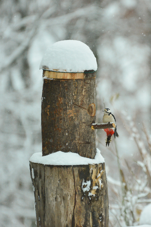 Woodpecker in winter eating from a bird feeder