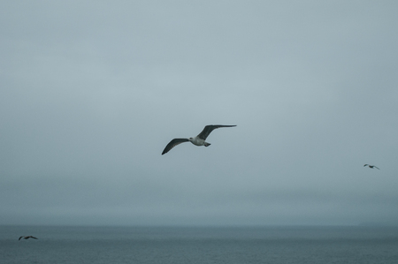 A gray and foggy day accompanies this seagull in flight 版權商用圖片