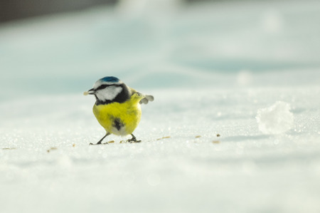 yellow tit on the white snow looks for food