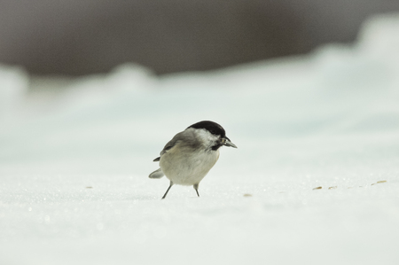 bird eats seeds on the white snow in winter