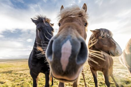 horses with beautiful and bushy mane of iceland 版權商用圖片