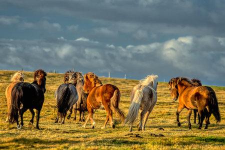 horses with beautiful and bushy mane of iceland