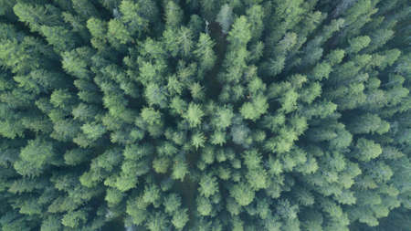 fir trees photographed from a drone in Switzerland 版權商用圖片