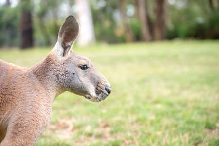 kangaroo in freedom in australia on the grass