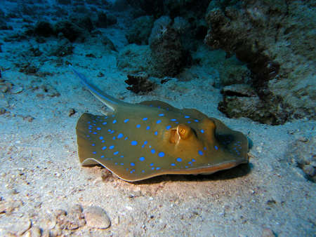 bluespotted: Bluespotted Stringray Stock Photo