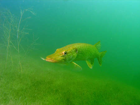 sweetwater: Pike in the lake