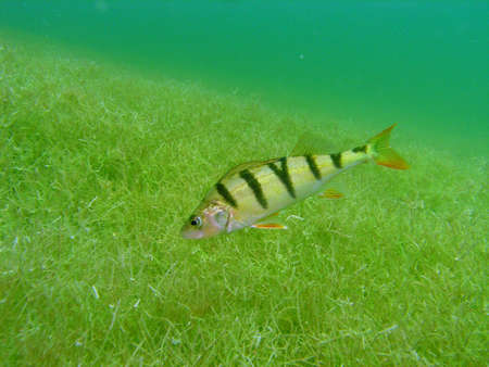 sweetwater: Perch in the lake Stock Photo