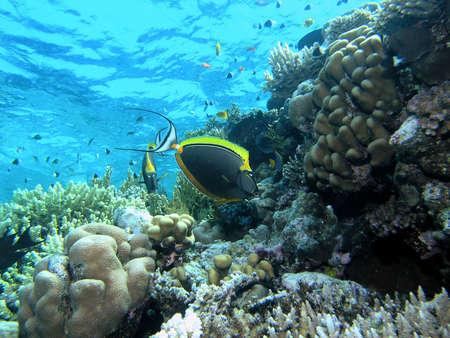 Unicorn fish on the reef photo