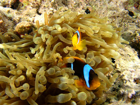 amphiprion bicinctus: Anemone fish on the coral reef  Stock Photo