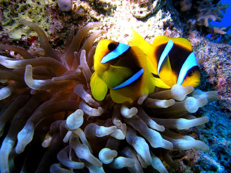 amphiprion bicinctus: Anemone fish Stock Photo