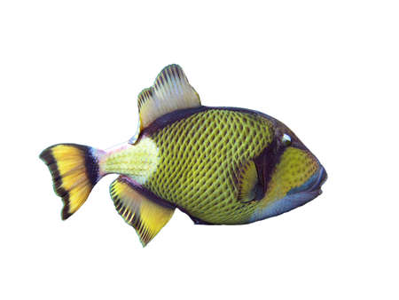 Titan Triggerfish on a white