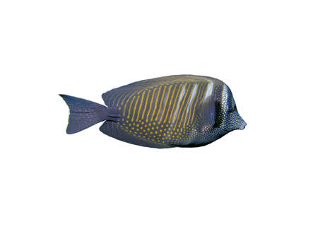sailfin: Sailfin tang fish on a white