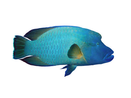 napoleon fish: Napoleon fish on a white