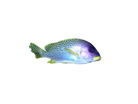 blackspotted: Isolated blackspotted grunt  fish on a white background