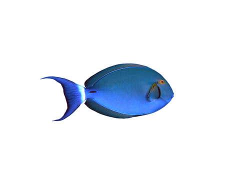 surgeon fish: Peces cirujano aisladas sobre fondo blanco