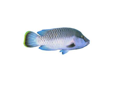 napoleon fish: Isolated napoleon Fish on a white background Stock Photo