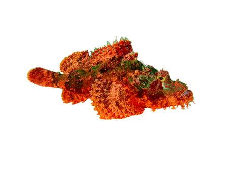 scorpionfish: Isolated scorpion-fish on a white background