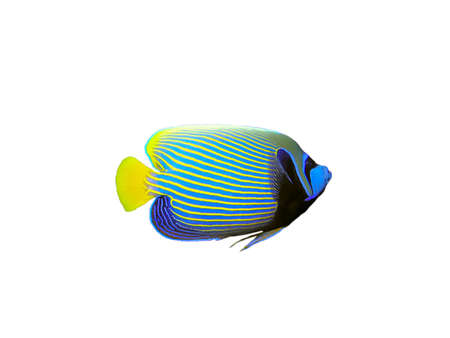 Isolated Emperor Angelfish on a white background   Фото со стока
