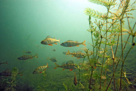 underwater fish: Shoal of perch  in the lake