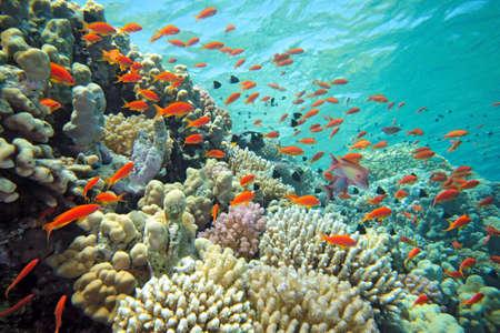 scalefin anthias fish on the reef