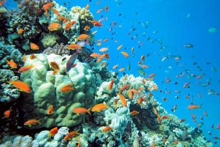 anthias: scalefin anthias fish on the reef