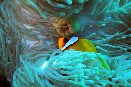 Clownfish Stock Photo - 5791803