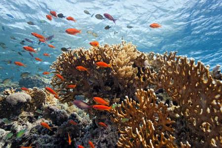 anthias: Shoal of anthias fish on the fire coral