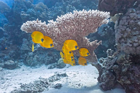 softcoral: Shoal of butterfly fish under table coral