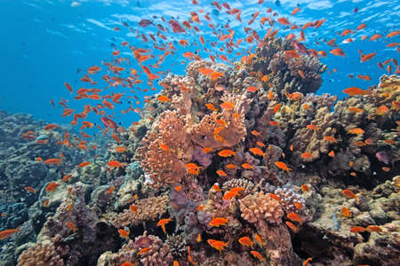 anthias fish: Shoal of anthias fish on the coral reef
