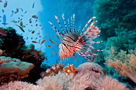 Lionfish on the reef Stock Photo