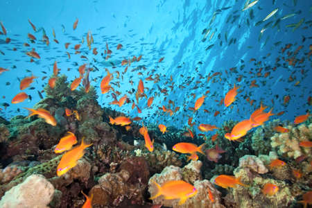 softcoral: Shoal of anthias fish on the coral reef