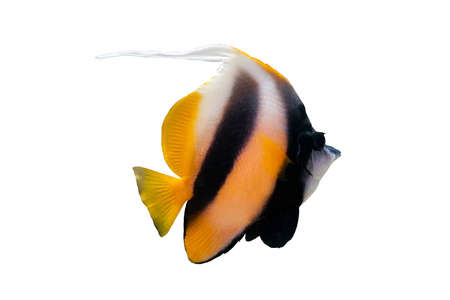 Bannerfish isolated on white