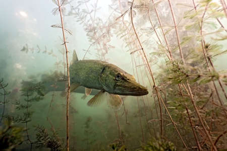 pike: Pike in the lake