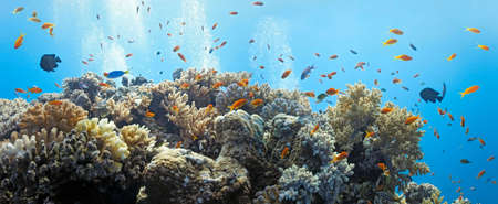 anthias fish: Shoal of anthias fish - panorama