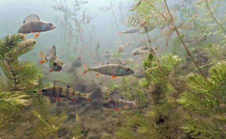 Shoal of perch in the lake Stock Photo