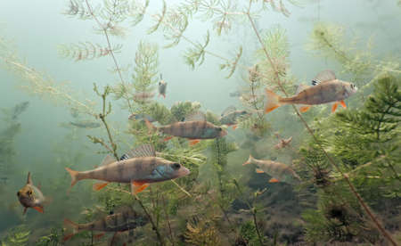 Shoal of perch in the lake Stock Photo - 6531964