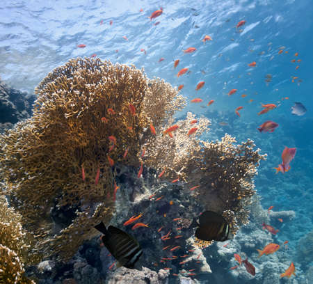 sailfin: Shoal of fish on the fire coral Stock Photo