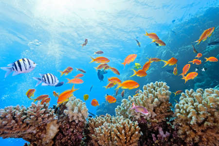 anthias fish: Coral scene on the reef
