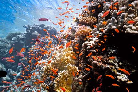 anthias: Colony anthias on the fire coral