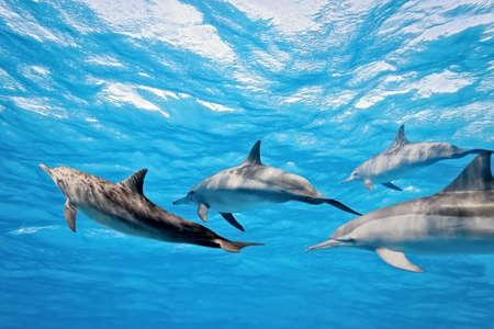 dolphin: Dolfijnen in de zee  Stockfoto