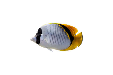 Butterfly fish isolated on a white background photo