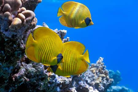 Schwarm von Fischen der Schmetterling auf dem Korallen-Riff